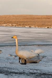 A Whooper Swan